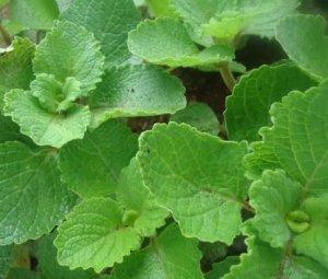 macam - macam dan jenis tanaman obat beserta khasiatnya
