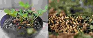 Cara Menanam Kacang tanah di Polybag