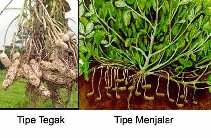 Perbedaan Kacang Tanah Tegak dan Menjalar