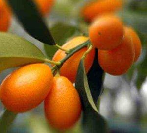 Tanaman hias buah jeruk