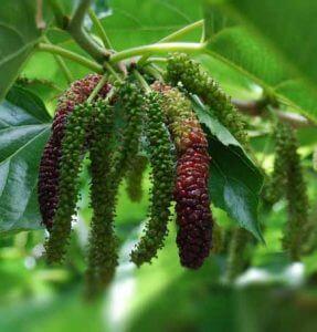 Tanaman Hias Buah Long Mulberry