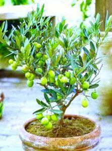 Tanaman hias buah pohon Zaitun